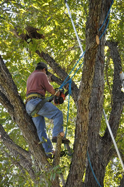 tree trimming tree trimming techniques tree trim canopy tree service