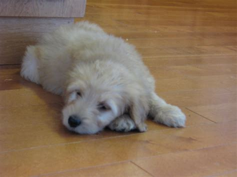 mini goldendoodles indiana goldendoodle breeders in indiana breeds picture