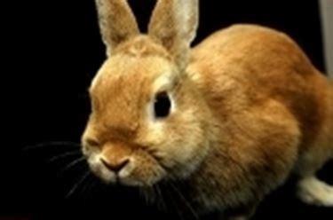 coniglietti nani alimentazione allevamento conigli nani conigli nani come allevare i