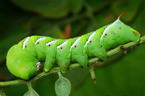 tomato hornworm control how to identify prevent and get rid of it