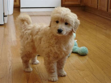 mini goldendoodles los angeles 1000 ideas about teddy puppies on