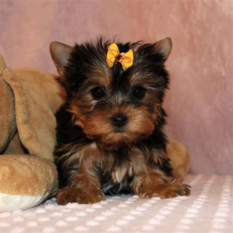 looking for a yorkie puppy mundimascota portal pets in singapore