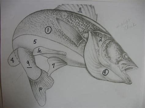 How To Draw Walleye walleye fish drawing