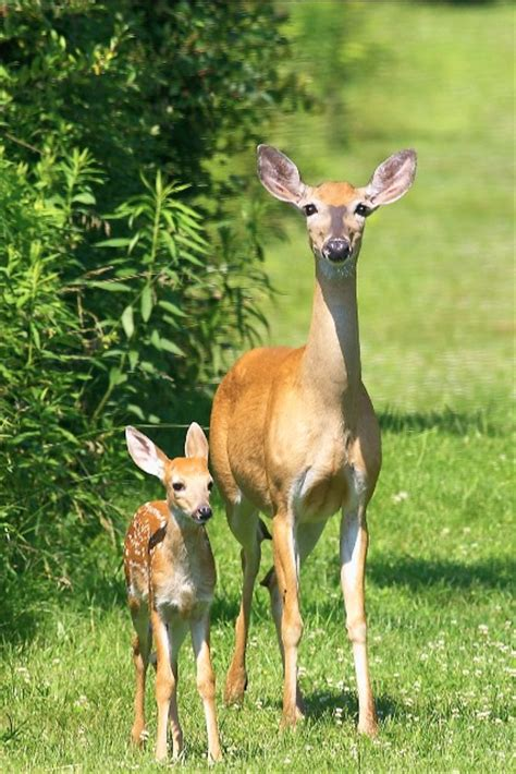 fawn  deer pictures  images