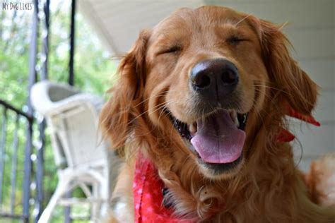 golden retriever smile wordless wednesday smiling is my favorite