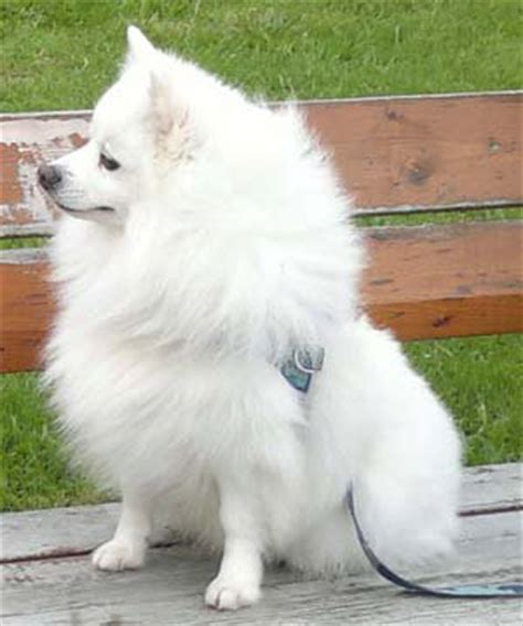 italian pomeranian 1000 images about volpino italiano italian spitz on