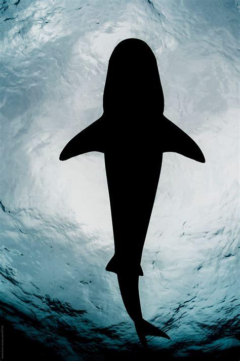 tiger shark silhouette stocksy united