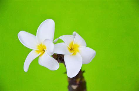 fiore plumeria plumeria in fiore