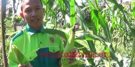 Hidroponik Jagung Pakan Ternak siswa smk bondowoso isi giat ramadhan dengan budidaya