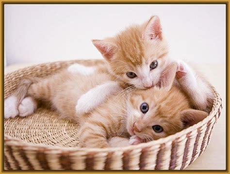 imagenes de gatitos blancas tiernas imagenes de gatitos mas tiernos archivos gatitos tiernos