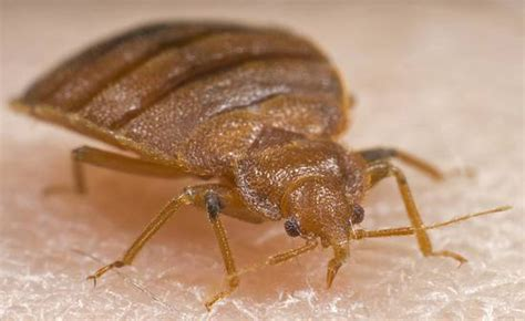 bed bug exterminators bed bug gallery in new york city