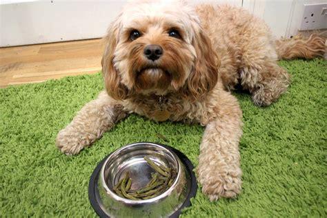 are green beans for dogs green beans for dogs carspart