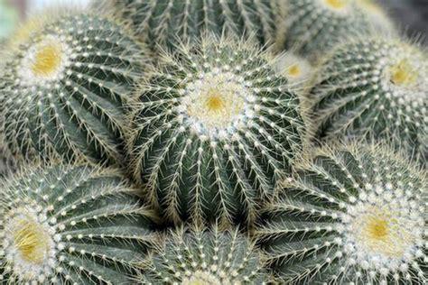 cuscino di suocera piante grasse le specie di cactus e piante succulente pi 249