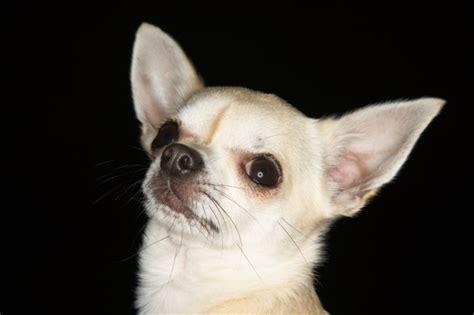 cani di razza piccola per appartamento cani in appartamento quali cani per una casa piccola