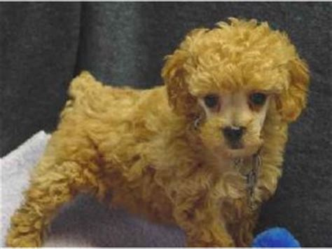 poodle puppies for sale mn poodle puppies in minnesota
