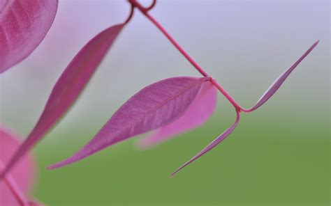 wallpaper pink leaves pink leaves plant wallpapers 1280x800 168643