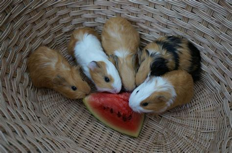 Baby guinea pigs for sale READY NOW!   Honiton, Devon