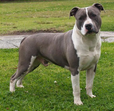 25 best ideas about american staffordshire terriers on
