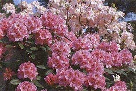 Rhododendron Sonniger Standort by Gr 246 Nfingers Rostocks Gartenfachmarkt Rhododendron