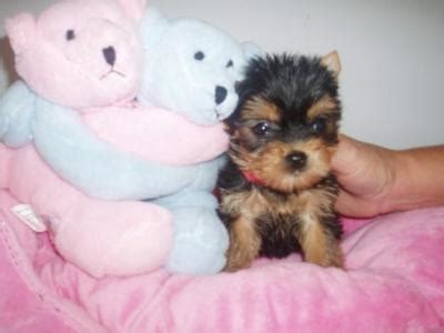 teacup puppies st louis babyface teacup yorkie puppies for free adoption st louis dogs for sale puppies