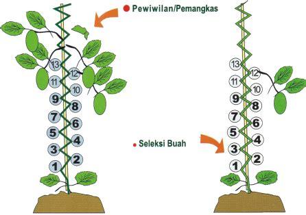 Bibit Jagung Manis Pertiwi budidaya melon pertiwi benih pertiwi