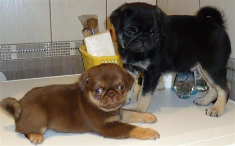 all colors of pugs 17 best images about pug in strange colors on puppy names puppys and colors