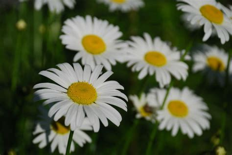 Facts About Daisy Flowers | daisy flower facts garden guides