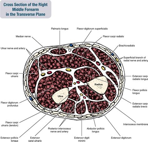 forearm cross section 7 muscles of the forearm and hand musculoskeletal key