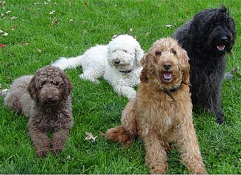 mini goldendoodle ottawa what is a quot doodle quot doodle rescue collective inc