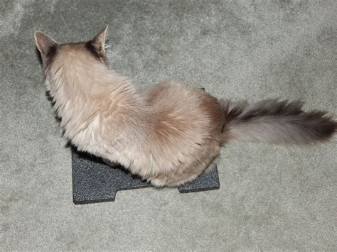 Why Do Cats Paw At The Floor cat scratching carpet after feral cat program