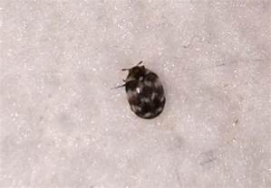 Carpet Beet Varied Carpet Beetle Bites Images