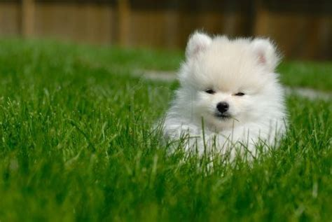 pomeranian white puppy dogs white pomeranian puppies