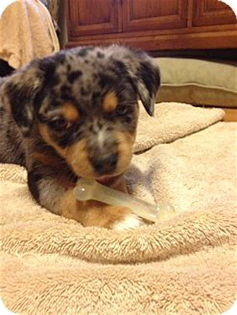 catahoula rottweiler mix frankie adopted puppy nc catahoula leopard rottweiler mix