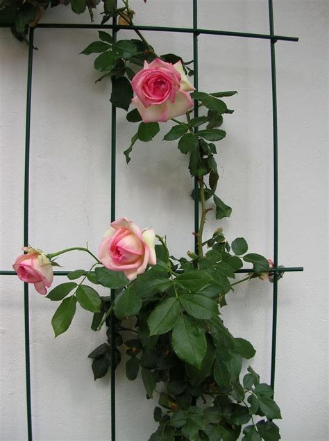 rosa in vaso quale rosa ricante per vaso compagnia giardinaggio