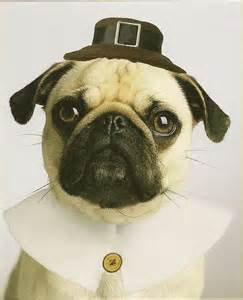Thanksgiving Pug Pictures Happy Thanksgiving Pug Pug Life I M Addicted To Pugs