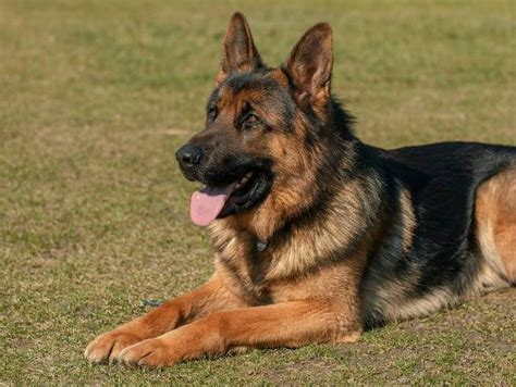 belgian malinois vs german shepherd belgian malinois vs german shepherd what s the difference