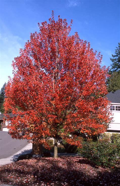 maple tree width autumn blaze maple nursery