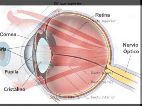 imagenes de los ojos y sus partes cristalino del ojo humano youtube