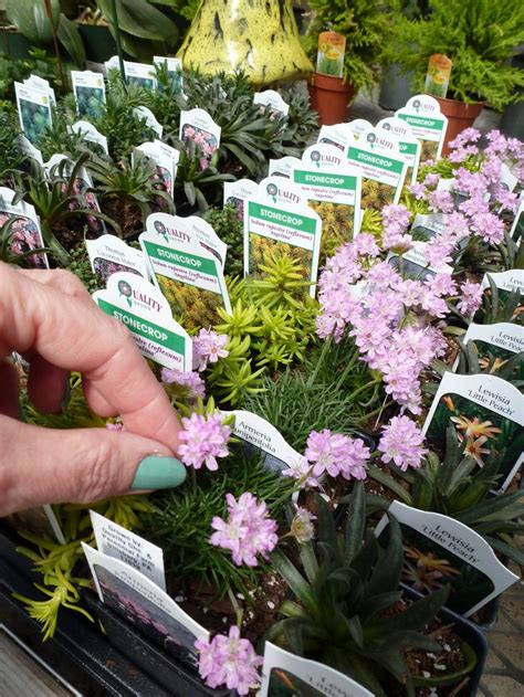 Some Plants To Buy For Fairy Gardens What Is A Fairy Buy Garden Flowers