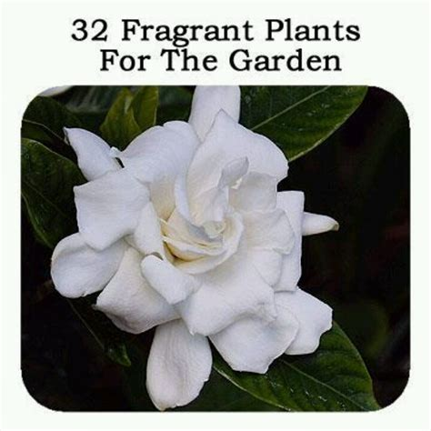 Fragrant Garden Flowers 17 Best Images About Fragrant Garden On Gardens Flower And Fragrance