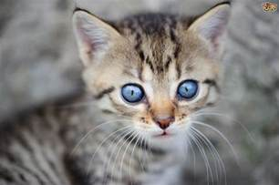 kitten eye color when does a kitten s change colour pets4homes