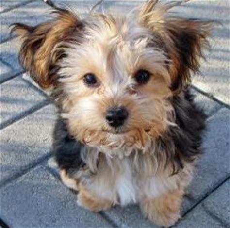 yorkie mix with poodle puppies all about the terrier poodle mix aka the yorkipoo dogable