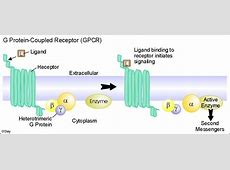 G PROTEIN COUPLED RECEPTORS | Teaching - Biology ... G Protein Coupled Receptors Gpcrs