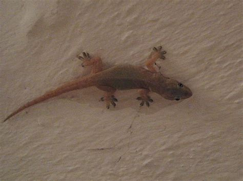 how to get rid of house gecko get rid of geckos reptile gallery
