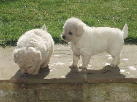 pug and poodle pugapoo pug cross poodle leigh greater manchester pets4homes