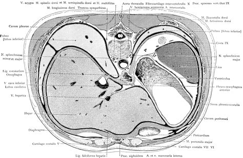 sections of the liver cross section of the trunk through the liver and stomach