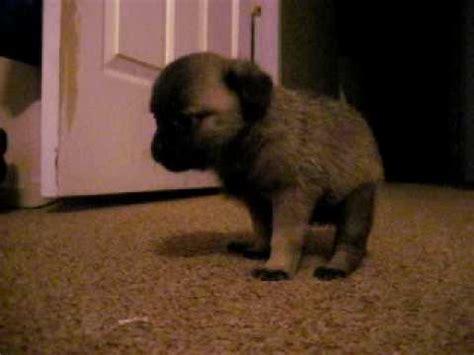pooping pug pug pooping pug