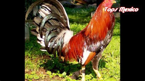 gallos de pelea super hermosos los gallos mas bonitos del mundo los gallos mas finos