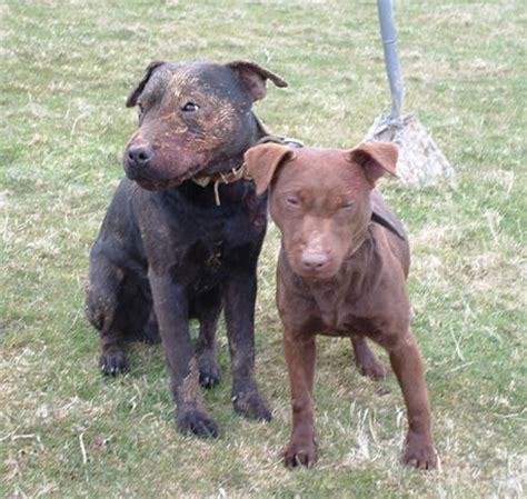 patterdale terrier puppies patterdale terrier gallery