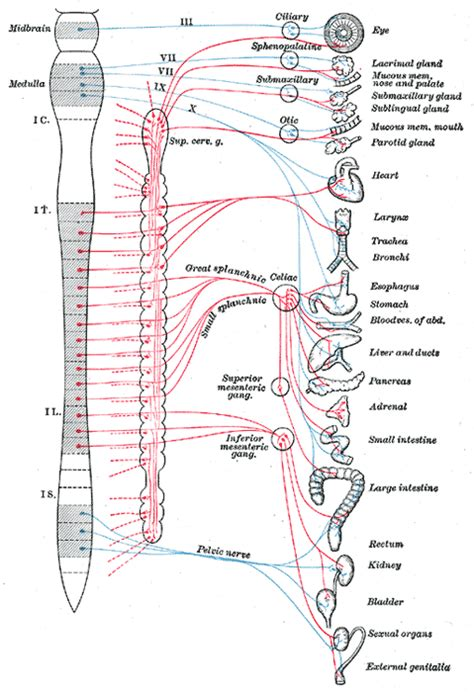 diagram of the vagus nerve the anatomy and physiology of an asthma attack